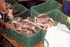 Autoridades de PRETOMA aseguran que los pescadores utilizan esta forma de aleteo para cargar más cantidad de tiburón en las embarcaciones. CRH cortesía de PRETOME
