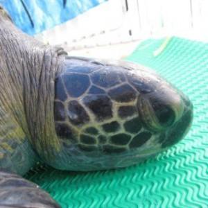 Costa Rica podría recibir sanción por desproteger a las tortugas. Foto tomada de la página de PRETOMA. CRH